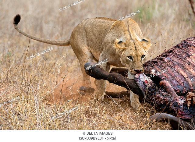 Lion (Panthera leo), feeding on buffalo, Tsavo, Kenya, Africa