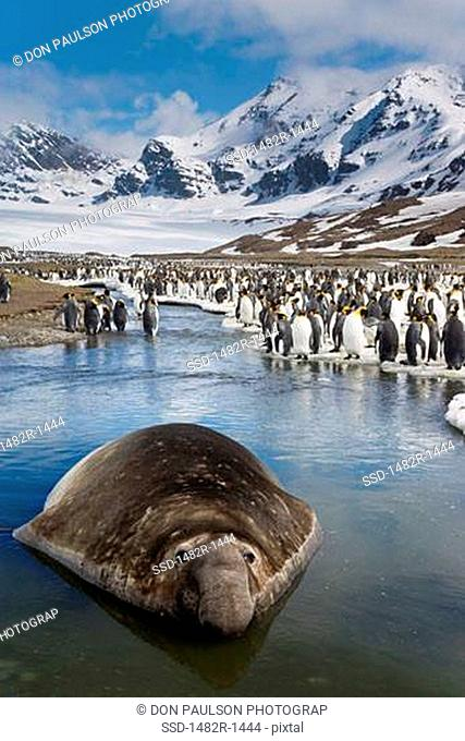 Southern Elephant seal Mirounga leonina in shallow water with a colony of King penguins Aptenodytes patagonicus in the background, St