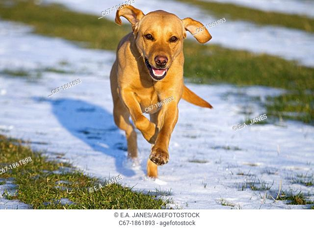 Yellow Labrador running in snow