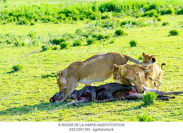 Lion (Panthera leo) dragging a Blue wildebeest or common wildebeest, white-bearded wildebeest or brindled gnu (Connochaetes taurinus) thay they have killed...