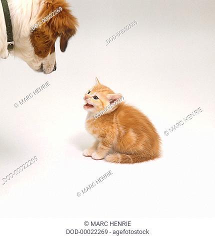 Kitten hissing at dog