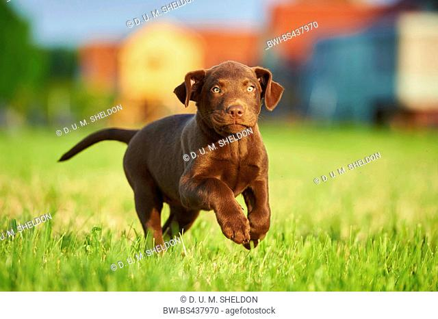 Labrador Retriever (Canis lupus f. familiaris), brown whelp running across a meadow, Germany