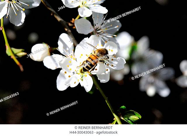 Blossoms, spring - tree and shrub, blossoming of a tree, tender blossoms, Driving out, spring-sprouted, smell, fruit blossoms, petals, blossomings of a tree