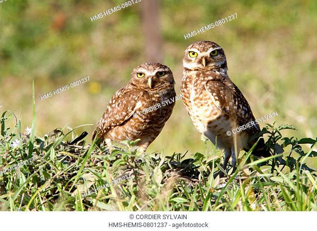 Brazil, Mato Grosso, Pantanal area, Burrowing Owl (Athene cunicularia)