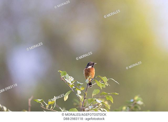 India, State of Assam, Kaziranga National Park, A. African stonechat or common stonechat (Saxicola torquatus), adult male perched