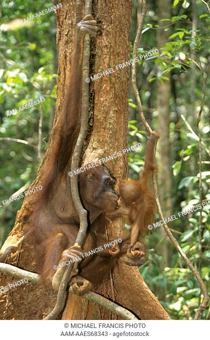 Borneo Orangutan (Pongo p. pygmaeus) Mom with Baby, kissing, Indonesia, endangered