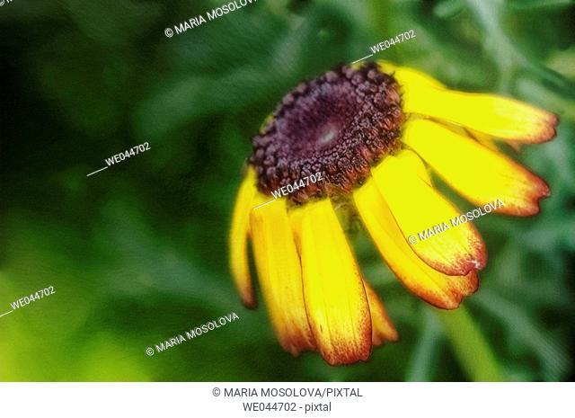 Daisy (Chrysanthemum carinatum). Maryland, USA, July 2004