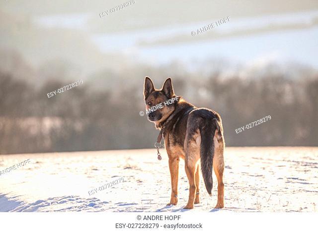 german shepherd in the snow