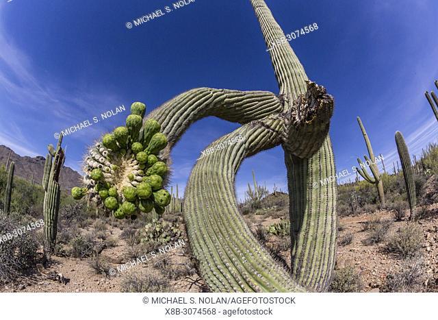 Saguaro cactus, Carnegiea gigantea, in the Sonoran Desert, Sweetwater Preserve, Tucson, Arizona, USA