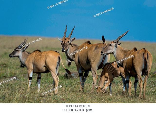 Common elands (Taurotragus oryx), Masai Mara, Kenya, Africa