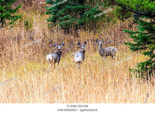 Roe deer, Capreolus capreolus, Yellowstone National Park, USA