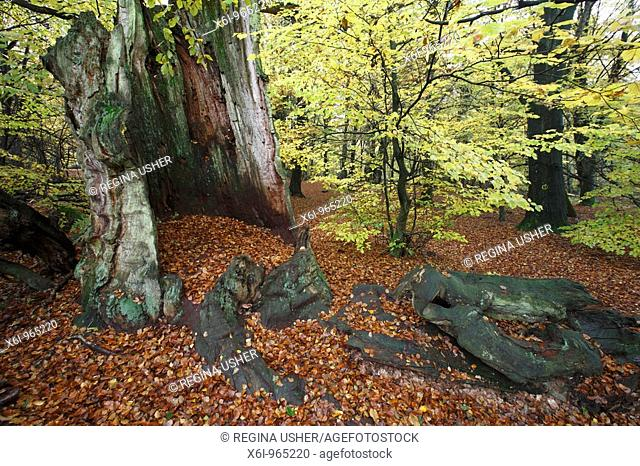 Ancient Oak Stem, surrounded by beech trees in autumn, Sababurg National Park, North Hessen, Germany