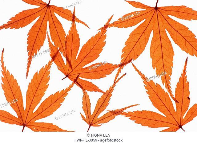 Acer palmatum dissectum atropurpureum, Japanese maple