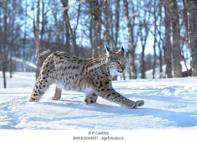 Eurasian lynx Lynx lynx, adult female in birch forest in winter, Norway, Bardu