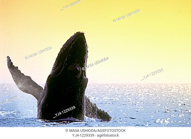 humpback whale, Megaptera novaeangliae, breaching at sunset, Hawaii, USA, Pacific Ocean