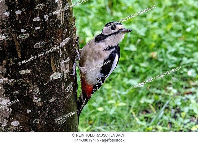 Männlicher Buntspecht auf Nahrungssuche klettert an einem Baumstamm