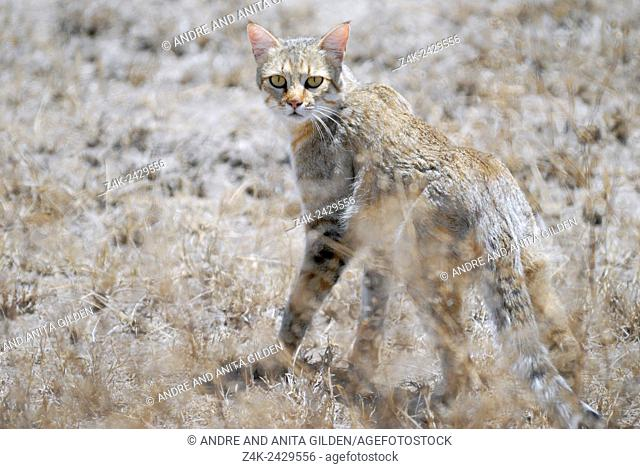 African Wildcat (Felis silvestris lybica) turning head backwards to look at camera