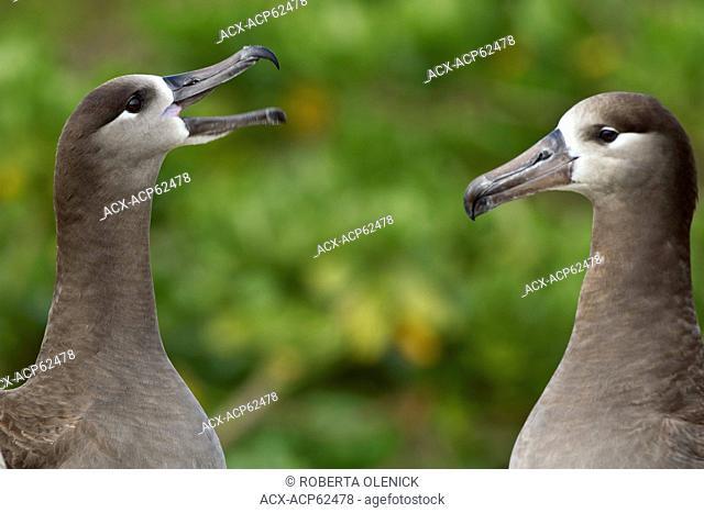 Black-footed albatross (Phoebastria nigripes), courtship, Sand Island, Midway Atoll National Wildlife Refuge, Northwest Hawaiian Islands