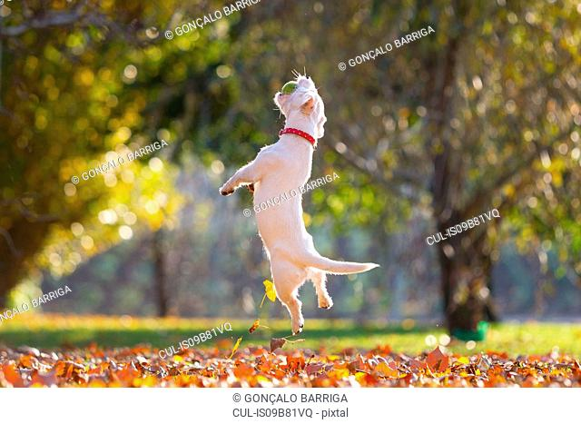 Jack russell playing in park in Autumn