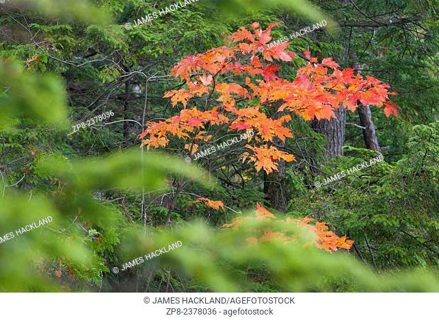 Red maple leaves poking through an otherwise green forest in Killarney, Provincial Park, Ontario, Canada