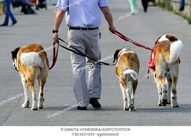 Three St Bernard dogs on a walk, Geneva, Switzerland