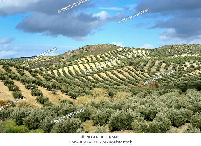 Spain, Andalusia, Jaen province, olive groves south of Martos between Baena and Alcaudete