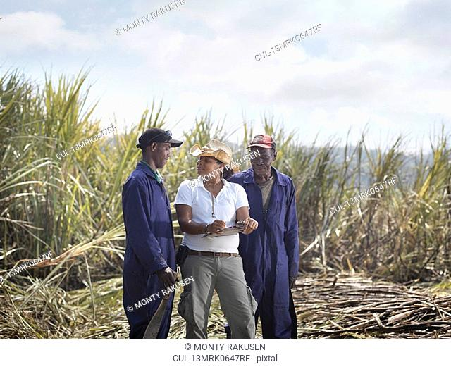 Workers & Supervisor In Sugar Cane Field