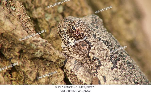 A Gray Treefrog (Hyla versicolor) perches at the base of a tree trunk during the spring breeding season