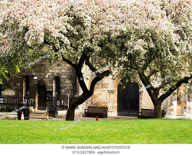 Spring Blossom at York Minster Library in the Old Palace Deans Park York Yorkshire England