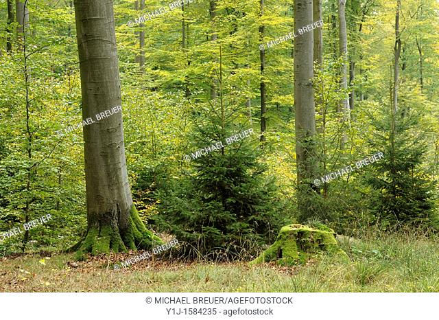 Forest, Beech trees, Spessart, Bavaria, Germany, Europe