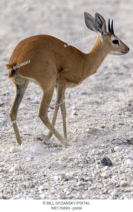 Steenbok (Raphicerus campestris) burying dung - Safarihoek Lodge, Etosha Heights, near Etosha National Park, Namibia, Africa