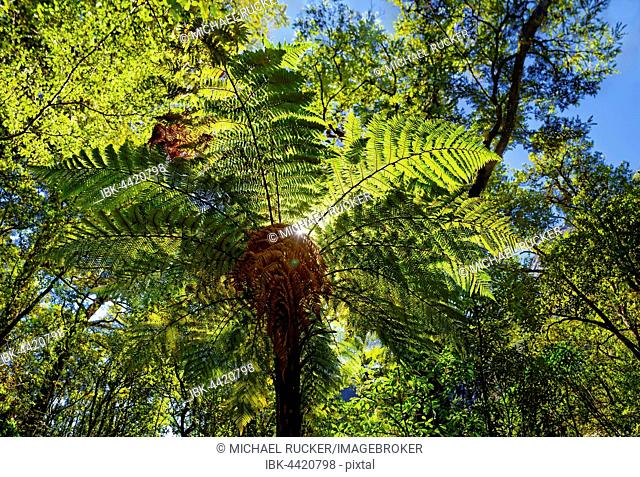 Tree fern (Cyatheales), Milford Sound, Fiordland National Park, Te Anau, South Island, New Zealand