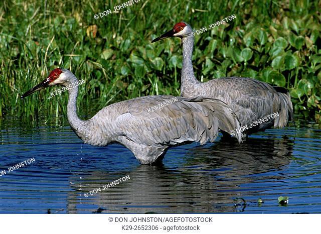 Sandhill crane (Grus canadensis), Myakka River State park, FL, USA