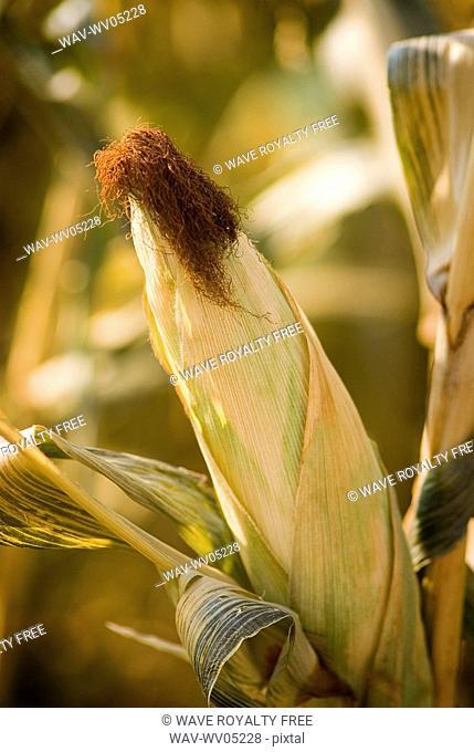 Autumn, close-up of ear of corn in a corn maze, just outside Regina, Saskatchewan