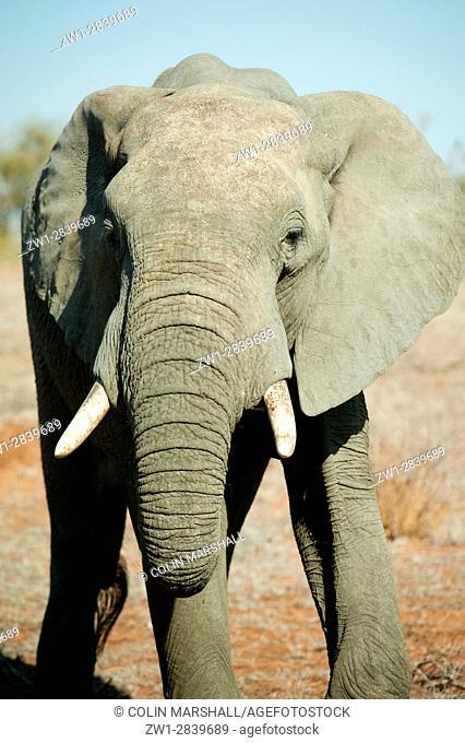 Elephant (Loxodonta africana), Kruger National Park, Transvaal, South Africa