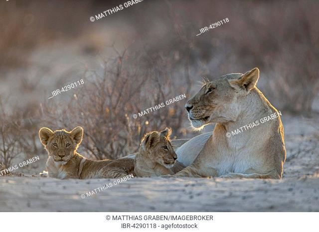 Lioness (Panthera leo) with two cubs, Kgalagadi Transfrontier Park, Northern Cape, South Africa