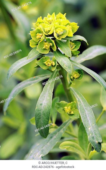 Leafy Spurge Euphorbia esula Green Spurge