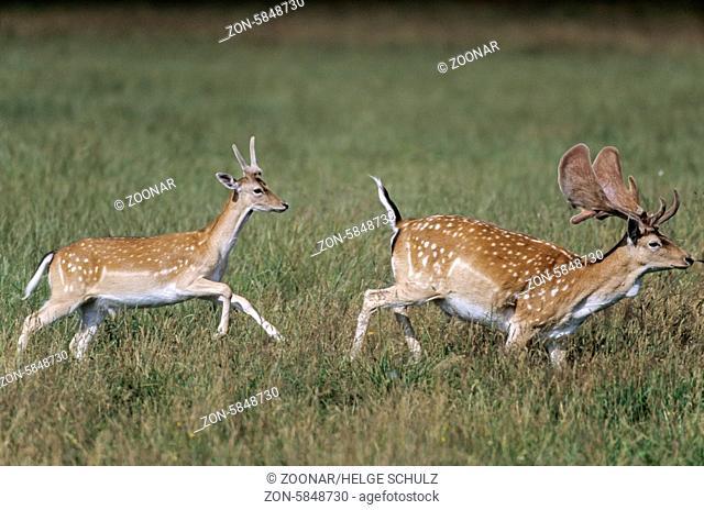 Damhirsch Damspiesser mit Bastgeweih im Hochsommer / Fallow Deer stag brocket with velvet antler / Dama dama (dama) - (Cervus dama)