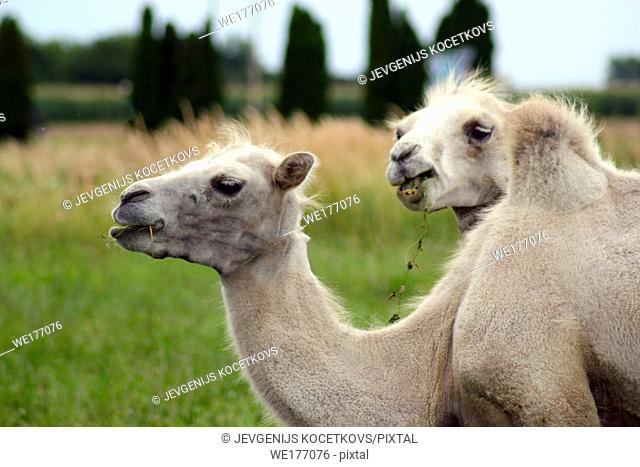 two small young camels on the green grass background. Camelus bactrianus