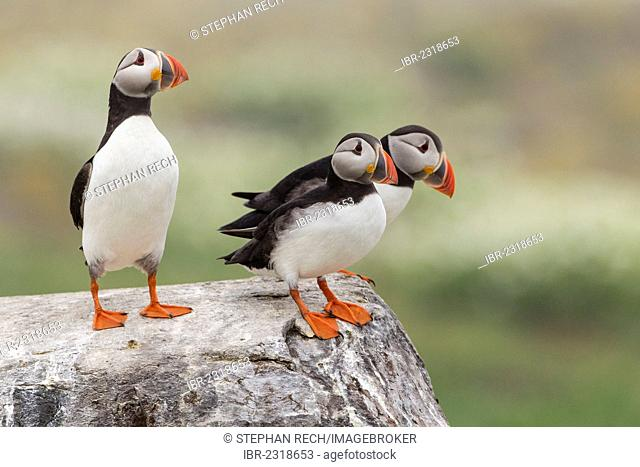 Atlantic puffins (Fratercula arctica), Farne Islands, Northumberland, England, United Kingdom, Europe