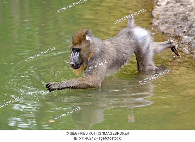 Mandrill (Mandrillus sphinx) in water, zoo, Ueckermünde, Szczecin Lagoon, Mecklenburg-Western Pomerania, Germany