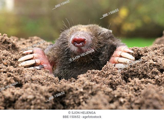 A mole emerges from the ground