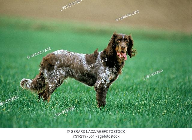 Picardy Spaniel Dog, a French Breed, standing on Grass