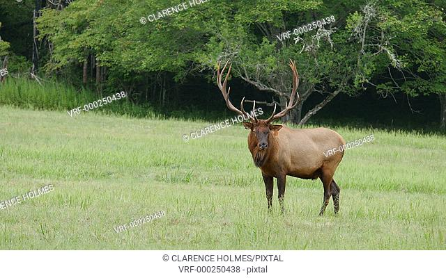 A large bull Elk stands while watching over his close-by harem in Cataloochee Valley in Great Smoky Mountains National Park