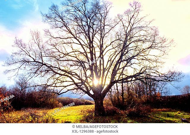 Pilgrim oak  Rabanal del Camino  Leon  The Way of St  James