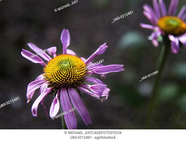 The purple coneflower produces bright colors while blooming in the hot desert sun