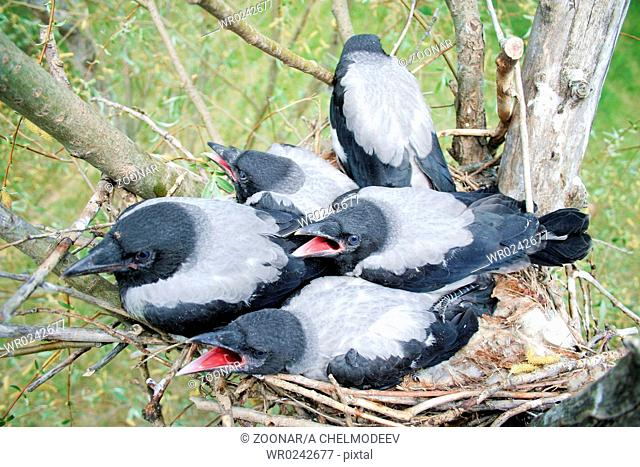 Nestling of the crow in the nest 2