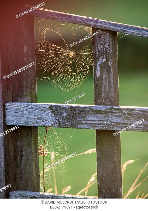 cobweb in a garden UK