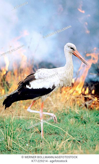 White Stork (Ciconia ciconia) feeding in burning savanna. Masai Mara. Kenya