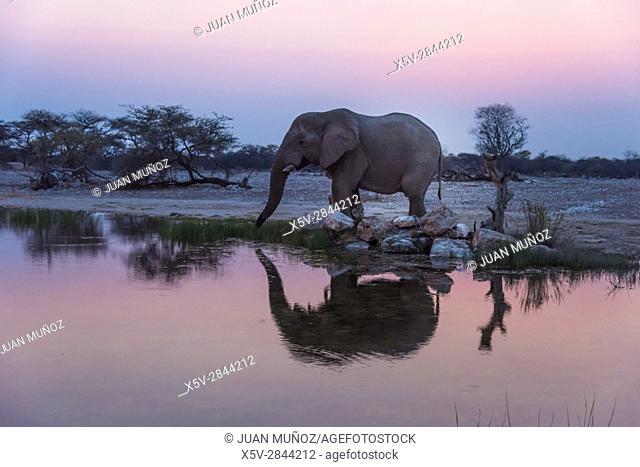 African elephant (Loxodonta africana) drinking savannah at sunset. Ethosa National Park. Namibia. Africa